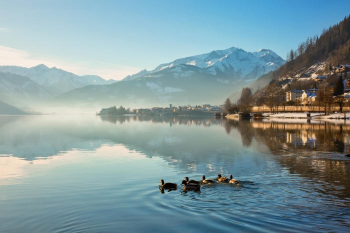 Ducks swim in the morning in beautiful alpine lake. Zell am See, Austria
